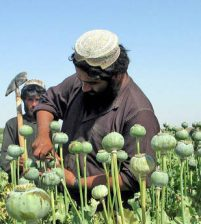 Poppy become main revenue source to Afghan Taliban