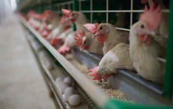 ورادات و صادرات گوشت مرغ در افغانستان ممنوع شد
