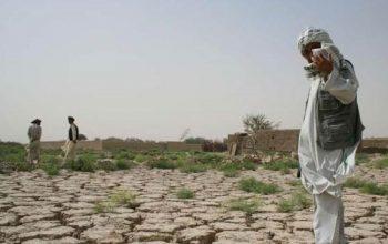 کاهش 85 درصدی کشت گندم للمی در هرات