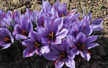 واردات زعفران به افغانستان ممنوع شد