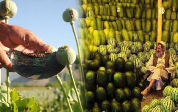 کشاورزان افغانستان بر سر دوراهی، کوکنار یا کشت حلال؟؟