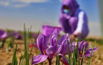تولید 20تُن زعفران در یک سال؛ افزایش 22درصدی سطح کِشت