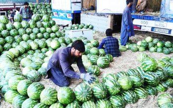 تربوز در فراه؛ هرکیلو یک افغانی