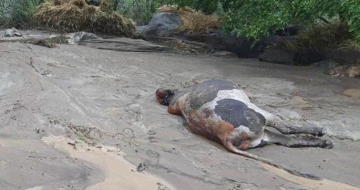 جاری شدن سیلاب در بخش هایی از ولایت پنجشیر، شماری از مواشی را تلف کرد
