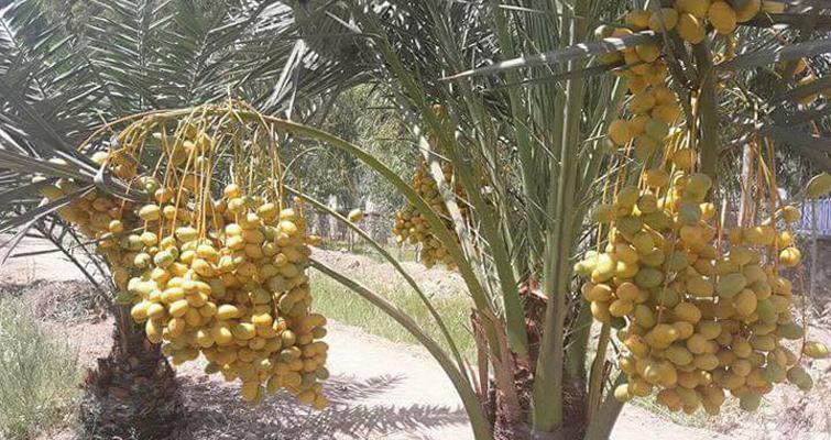 حاصلات خرمای ننگرهار در سال جاری به 150 تُن رسیده است